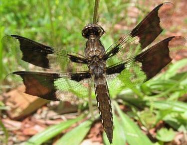 Libellula lydia Libellula lydia,Plathemis lydia,skimmers,dragonfly,Odonata. Libellulidae