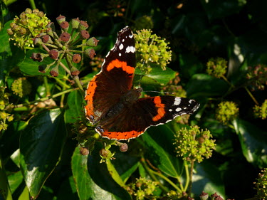 red admiral sunbathing butterflies,perching,Nymphalidae,Brush-Footed Butterflies,Lepidoptera,Butterflies, Skippers, Moths,Arthropoda,Arthropods,Insects,Insecta,Urban,North America,Europe,Flying,Common,Fluid-feeding,Agricult