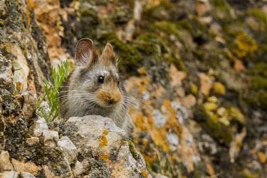 Glover's pika on rock mammal,endemic,asia,chinese,tibetan,pika,ecotourism,tibetan plateau,keystone species,black-lipped pika,China