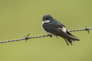 """Mangrove swallow perched on fence perched,green,""""Paul B Jones 2014"""",Belize """"Chan Chich"""""""