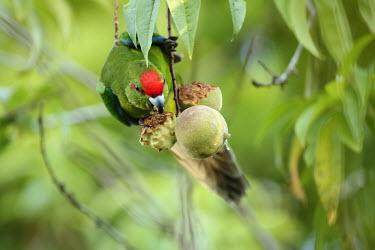 Red-fronted parakeet feeding on peach feeding,fruits,peach,Norfolk pine,Cyanoramphus cookii,Animalia,Vulnerable,Terrestrial,Cyanoramphus,novaezelandiae,cookii,Australia,Aves,Psittacidae,Flying,Psittaciformes,Chordata,Omnivorous,IUCN Red L