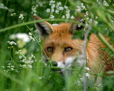 Fox portrait fox,red,Vulpes vulpes,cow parsley,Anthriscus sylvestris,grass,British Wildlife Centre,Lingfield,Surrey,hiding,looking,close-up,mammal,carnivore,Captive,Chordates,Chordata,Mammalia,Mammals,Carnivores,C