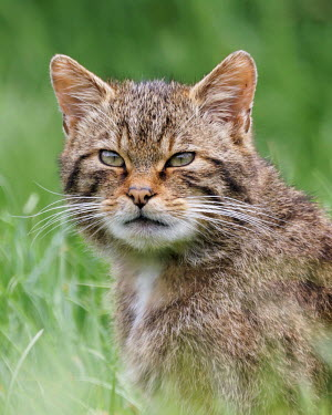 Scottish Wildcat portrait cat,feline,Scottish Wildcat,Felis Silvestris,kitten,grass,British Wildlife Centre,Lingfield,Surrey,felidae,carnivores,British wildlife,sitting,mammal,Captive
