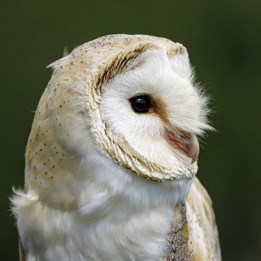Barn Owl profile owl,Barn Owl,Tyto alba,profile,head,British Wildlife Centre,Lingfield,Surrey,birds,Aves,close-up,birds of prey,Captive,Chordates,Chordata,Tytonidae,Barn Owls,Owls,Strigiformes,Birds,Africa,alba,Austra