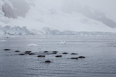 Group of Ad�lie penguins swimming in sea iceberg,landscape,Wild,Spheniscidae,Penguins,Chordates,Chordata,Aves,Birds,Ciconiiformes,Herons Ibises Storks and Vultures,Pygoscelis,Carnivorous,Aquatic,Coastal,Shore,adeliae,South America,Near Threa