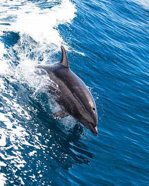 Long-beaked common dolphin jumping jumping,swimming,water,surfacing,Wild,Mammalia,Mammals,Oceanic Dolphins,Delphinidae,Chordates,Chordata,Cetacea,Whales, Dolphins, and Porpoises,Cetartiodactyla,Carnivorous,Pacific,Indian,Animalia,Delph