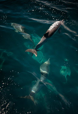 Long-beaked common dolphins from above underwater,high angle,Wild,Mammalia,Mammals,Oceanic Dolphins,Delphinidae,Chordates,Chordata,Cetacea,Whales, Dolphins, and Porpoises,Cetartiodactyla,Carnivorous,Pacific,Indian,Animalia,Delphinus,Append