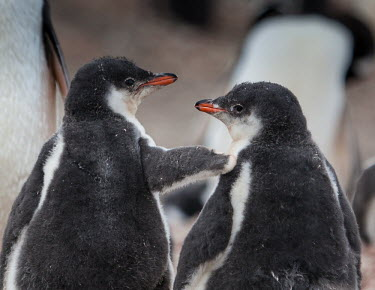 Gentoo penguin chicks interacting rear-view,humour,chicks,young,pair,Wild,Near Threatened,Aves,Chordata,Spheniscidae,Aquatic,Carnivorous,Shore,South America,Coastal,Ocean,Terrestrial,Pygoscelis,Antarctic,papua,Animalia,Sphenisciformes