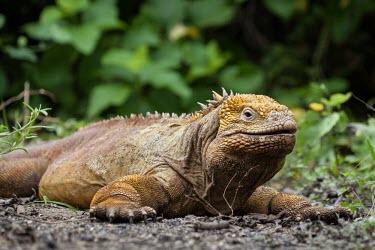 Galapagos land iguana Wild,Squamata,Lizards and Snakes,Reptilia,Reptiles,Chordates,Chordata,Iguanidae,Conolophus,Animalia,Omnivorous,subcristatus,Scrub,Vulnerable,Appendix II,South America,Terrestrial,IUCN Red List