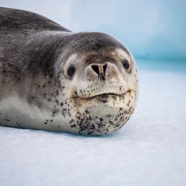 Leopard seal portrait head detail,potrait,Wild,Phocidae,True Seals,Mammalia,Mammals,Carnivores,Carnivora,Chordates,Chordata,Least Concern,Aquatic,Terrestrial,Antarctic,Hydrurga,leptonyx,Animalia,Snow and ice,Carnivorous,At
