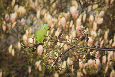 Male ring-necked parakeet on branch Rose-ringed parakeet,male,invasive species,non-native species,Wild,Parakeets, Macaws, Parrots,Psittacidae,Chordates,Chordata,Parrots,Psittaciformes,Aves,Birds,Temperate,Herbivorous,Africa,Scrub,Least