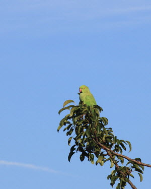 Ring-necked parakeet perched in tree Rose-ringed parakeet,male,invasive species,non-native species,Wild,Parakeets, Macaws, Parrots,Psittacidae,Chordates,Chordata,Parrots,Psittaciformes,Aves,Birds,Temperate,Herbivorous,Africa,Scrub,Least