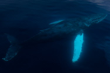 Humpback whale swimming under surface underwater,Wild,Rorquals,Balaenopteridae,Cetacea,Whales, Dolphins, and Porpoises,Chordates,Chordata,Mammalia,Mammals,South America,North America,South,Asia,Australia,Pacific,Africa,Aquatic,Particulate