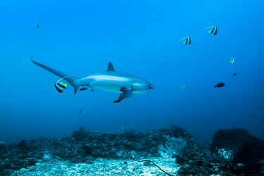 Thresher shark and fish. Cebu,Malapascua,Monad Shoal,Philippines,Photography,Wild,diving,indic ocean,macro,nature,scuba,sea,travel,treasher shark,underwater photography