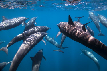 Pod of dolphins swimming underwater Animals,Dolphin,Dolphins,Pacific Ocean,Photography,Snorkeling,Wide Angle Photography,Wild,nature,ocean,tourism,travel,underwater,Guerrero,Ixtapa,Mxico,North America