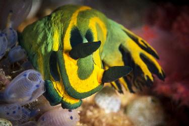 Nudibranch Bugton Bato,Bogton Bato,Cebu,Photography,Wild,diving,indic ocean,macro,nature,scuba,sea,travel,underwater photography,nudibranch,strange,weird,colourful,Malapascua,Philippines
