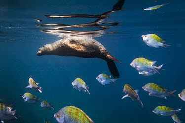 Californian sea lion swimming at surface, with fish shoal Animals,Baja California,La Paz,Los Islotes,Mxico,North America,Photography,Sea Lions,Sea of Cortez,Wide Angle Photography,Wild,nature,ocean,tourism,travel,underwater,wildlife,Chordates,Chordata,Mammal