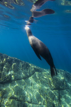 Californian sea lion headng towards surface Animals,Baja California,La Paz,Los Islotes,Mxico,North America,Photography,Sea Lions,Sea of Cortez,Wide Angle Photography,Wild,nature,ocean,tourism,travel,underwater,wildlife,Chordates,Chordata,Mammal