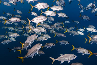 School of jacks Wide Angle,caribbean,diving,fish,ocean,outdoors,school of fish,scuba diving,sea,tourism,travel,wild animals,wildlife,Camaguey,Cuba,Jardines de la Reina,School of Jacks