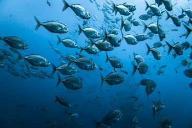 Shoal of fish Animals,North America,Pacific Ocean,Pat,Photography,Roca Partida,Wide Angle Photography,Wild,diving,nature,ocean,tourism,travel,underwater,Baja California,Islas Revillagigedo,Mxico