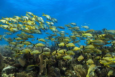 School of blue-striped grunt above a coral reef at Jardines de la Reina, Cuba. Wide Angle,caribbean,coral reef,diving,fish,ocean,outdoors,scuba diving,sea,tourism,travel,wild animals,wildlife,Camaguey,Cuba,Jardines de la Reina