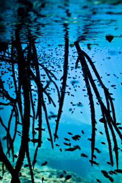 Submerged roots and a lot of guppies in Casa Cenote, Quintana Roo, Mxico. Casa Cenote,Guppies,Mxico,North America,Quintana Roo,Submerged Roots,Tulum,beauty in nature,cavern,cenote,fish,fresh water,natural wonder,outdoors,travel,underwater,yucatan peninsula