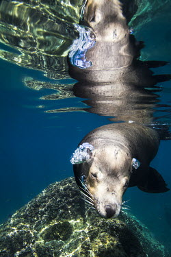 Californian sea lion swimming at surface, air bubbles Animals,Baja California,La Paz,Los Islotes,Mxico,North America,Photography,Sea Lions,Sea of Cortez,Wide Angle Photography,Wild,nature,ocean,tourism,travel,underwater,wildlife,Chordates,Chordata,Mammal
