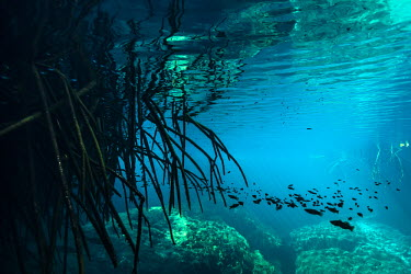 Divers exploring the natural wonders of cenote Casa Cenote, Quintana Roo, Mxico. Casa Cenote,Mxico,North America,Quintana Roo,Tulum,Wide Angle,beauty in nature,cavern,cenote,fresh water,natural wonder,outdoors,travel,underwater,yucatan peninsula