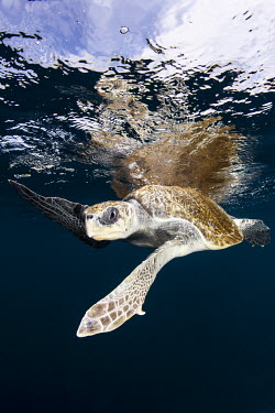 Loggerhead turtle Animals,Guerrero,Ixtapa,Mxico,North America,Pacific Ocean,Photography,Sea Turtle,Snorkeling,Wide Angle Photography,Wild,nature,ocean,tourism,travel,underwater,Chordata,Atlantic,Animalia,Aquatic,Coasta