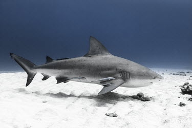 Bull shark swimming along seabed Animals,Bull Shark,Mexico,Photography,Playa del Carmen,Quintana Roo,Wide Angle Photography,Wild,nature,ocean,sea,shark,tourism,travel,underwater,wildlife,swimming,leucas,Animalia,Carnivorous,Near Thre