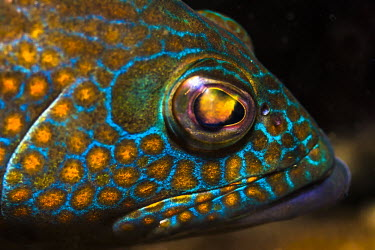 Portrait of brightly coloured fish GMacro photography,Mexico,North America,Pat,marine life,scuba diving,tourism,travel,underwater,Guerrero,Ixtapa Island,Macro photography