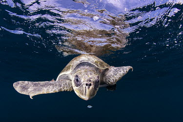 Loggerhead turtle portrat Animals,Guerrero,Ixtapa,Mxico,North America,Pacific Ocean,Photography,Sea Turtle,Snorkeling,Wide Angle Photography,Wild,nature,ocean,tourism,travel,underwater,Chordata,Atlantic,Animalia,Aquatic,Coasta