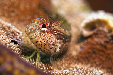 Close up of a blenny fish resting on coral at, Ixtapa Island, Mxico. Coral,Guerrero,Ixtapa,Macro photography,Mexican Riviera,Mxico,North America,Pacific Ocean,Pat,Sacramento,Wilderness,Zihuatanejo,nature,scuba diving,tourism,travel,underwater,wild animals