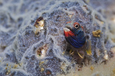Close up of a Mexican barnacle blenny, found in las Gatas, Zihuatanejo, Mexico. Animal behavior,Close up,Macro photography,Pat,Tubicola Mexicano,Zihuatanejo,fish,marine life,scuba diving,tourism,travel,underwater,Acanthemblemaria macrospilus,Guerrero,Las Gatas,Mexican Barnacle Bl
