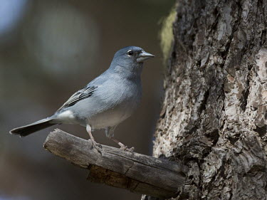 Blue chaffinch, perched on branch bird,aves,perched,male,Flying,Animalia,Fringilla,Omnivorous,Near Threatened,Chordata,Fringillidae,Terrestrial,Coniferous,Europe,IUCN Red List,Passeriformes,Aves,Scrub,Forest