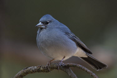 Blue chaffinch, perched , front view bird,aves,perched,male,Flying,Animalia,Fringilla,Omnivorous,Near Threatened,Chordata,Fringillidae,Terrestrial,Coniferous,Europe,IUCN Red List,Passeriformes,Aves,Scrub,Forest