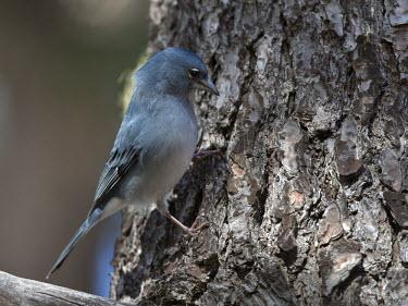 Blue chaffinch on tree trunk bird,aves,perched,male,Flying,Animalia,Fringilla,Omnivorous,Near Threatened,Chordata,Fringillidae,Terrestrial,Coniferous,Europe,IUCN Red List,Passeriformes,Aves,Scrub,Forest