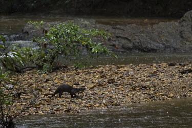 Hairy-nosed otter walking along riverbank walking,otter,riverbank,Weasels, Badgers and Otters,Mustelidae,Chordates,Chordata,Mammalia,Mammals,Carnivores,Carnivora,Ponds and lakes,Appendix II,Coastal,IUCN Red List,Mangrove,sumatrana,Fresh water