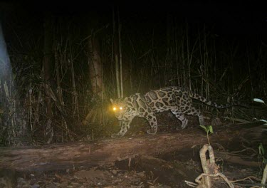 Diard's clouded leopard caught on camera trap Locomotion,Species in habitat shot,Habitat,Walking,Adult,Tropical,Forests,Vulnerable,Rainforest,Terrestrial,Felidae,Asia,Animalia,Neofelis,Mammalia,Mountains,Carnivorous,Chordata,diardi,Carnivora,IUCN