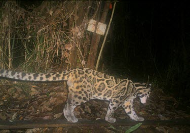 Male Diard's clouded leopard caught on camera trap Locomotion,Adult,Walking,Vulnerable,Rainforest,Terrestrial,Felidae,Asia,Animalia,Neofelis,Mammalia,Mountains,Carnivorous,Chordata,diardi,Carnivora,IUCN Red List