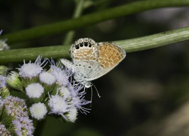 Western pygmy blue perched on flowering plant Arthropoda,Arthropods,Coppers, Hairstreaks,Lycaenidae,Lepidoptera,Butterflies, Skippers, Moths,Insects,Insecta,Flying,Desert,Animalia,South America,Fluid-feeding,North America,Brephidium