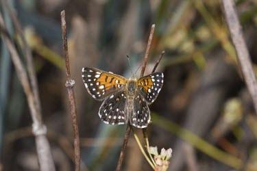 Lange's metalmark butterfly, upper side of wings Fluid-feeding,Riodinidae,Herbivorous,Terrestrial,Lepidoptera,Arthropoda,North America,Apodemia,Animalia,Flying,Sand-dune,Insecta