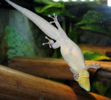 Klemmer's day gecko female with eggs Adult,Eggs,Adult Female,Endangered,Animalia,Phelsuma,Squamata,CITES,Africa,Terrestrial,Chordata,Forest,Gekkonidae,IUCN Red List,Reptilia,Appendix II