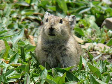 Plateau pika showing characteristic black lips Ochotonidae,Pika,Lagomorpha,Hares and Rabbits,Chordates,Chordata,Mammalia,Mammals,Mountains,Animalia,Terrestrial,Desert,Least Concern,Asia,Herbivorous,Temperate,curzoniae,Ochotona,IUCN Red List