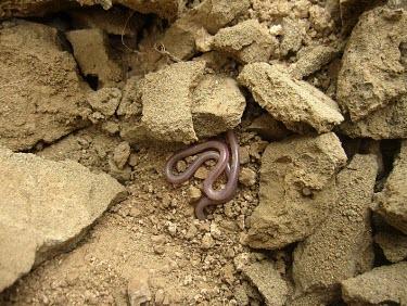 Hooked thread snake in habitat Species in habitat shot,Habitat,Adult,Leptotyphlops,Terrestrial,Reptilia,Africa,Animalia,Asia,Chordata,Carnivorous,Leptotyphlopidae,Squamata