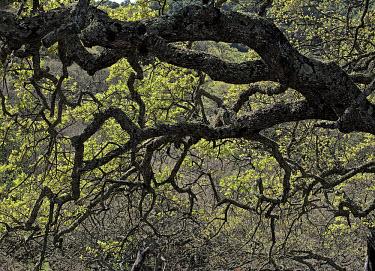 Quercus douglasiiOld Briones Road Plants,plantae,trees,Quercus,oaks,blue oak,Quercus douglasii