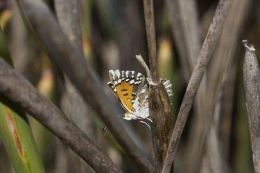 Side view of Lange's metalmark butterfly Fluid-feeding,Riodinidae,Herbivorous,Terrestrial,Lepidoptera,Arthropoda,North America,Apodemia,Animalia,Flying,Sand-dune,Insecta