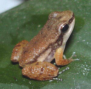 Bloody Bay fragrant frog, dorsal view Adult,Tropical,Anura,Mannophryne,IUCN Red List,Animalia,Chordata,Terrestrial,Amphibia,Forest,olmonae,Rainforest,Streams and rivers,Vulnerable,Aromobatidae,South America,Aquatic,Fresh water