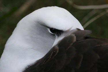 Laysan albatross resting, head detail Adult,How does it live ?,Albatrosses,Diomedeidae,Ciconiiformes,Herons Ibises Storks and Vultures,Chordates,Chordata,Aves,Birds,Terrestrial,Ocean,immutabilis,Carnivorous,Shore,Aquatic,Coastal,Vulnerabl