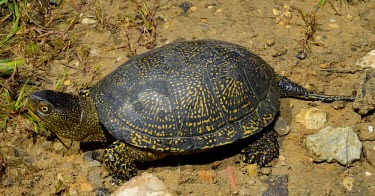 European pond turtle Adult,Reptilia,Reptiles,Chordates,Chordata,Turtles,Testudines,Pond Turtles,Emydidae,Asia,Emys,Streams and rivers,Aquatic,Omnivorous,orbicularis,Wetlands,Africa,Ponds and lakes,Europe,Terrestrial,Near